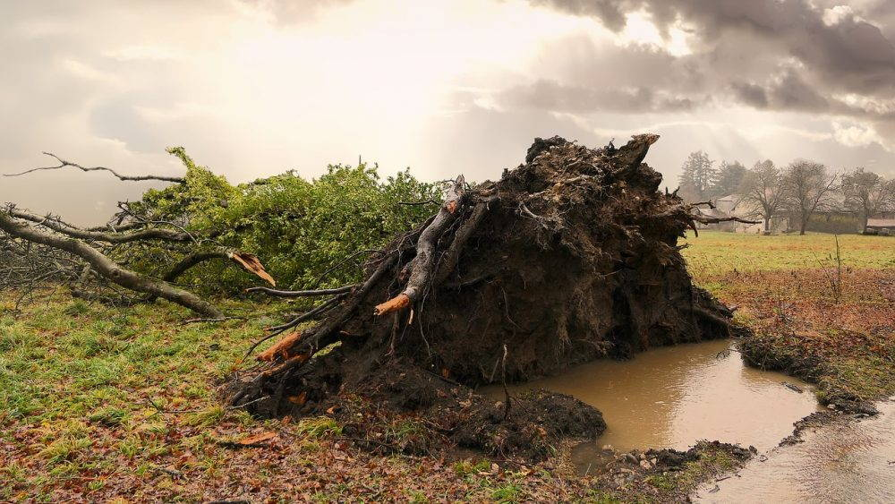 Uprooted tree. Brown puddle foreground, grey sky background.