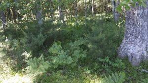A leafy, thriving undergrowth of plants around several trees