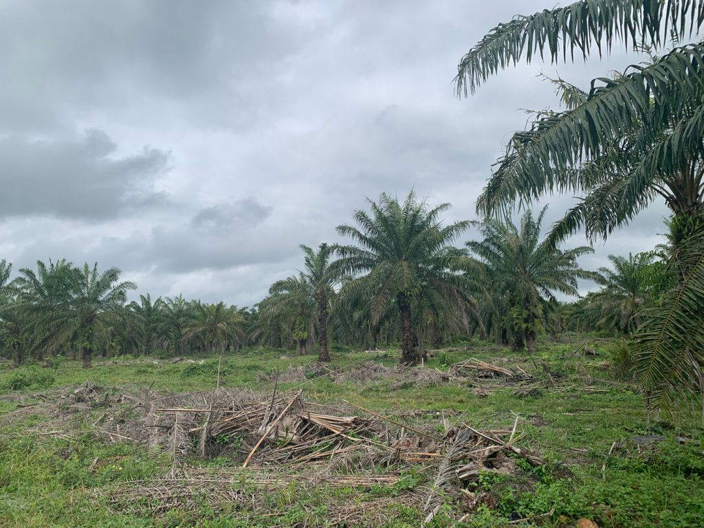 A grove of palm trees with piles of cut palm fronds in the foreground