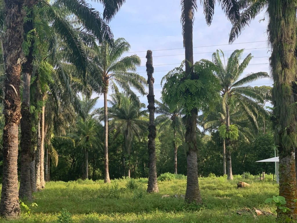 In a grove of palm trees, one palm lacks fronds and fruit