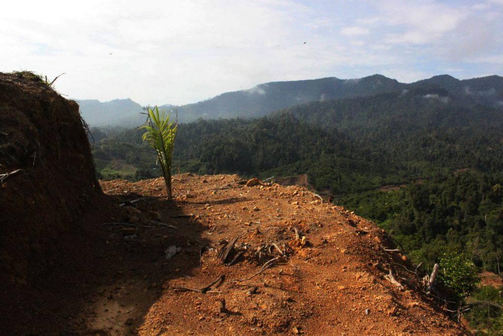 Single oil palm seedling on a cleared hillsideterrace