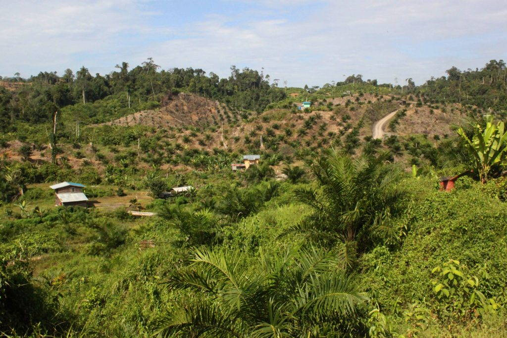 Plantation with oil palm trees at various stages of growth, and plantation buildings in the middle ground