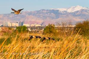 Geese fly in wildlife preserve against city backdrop