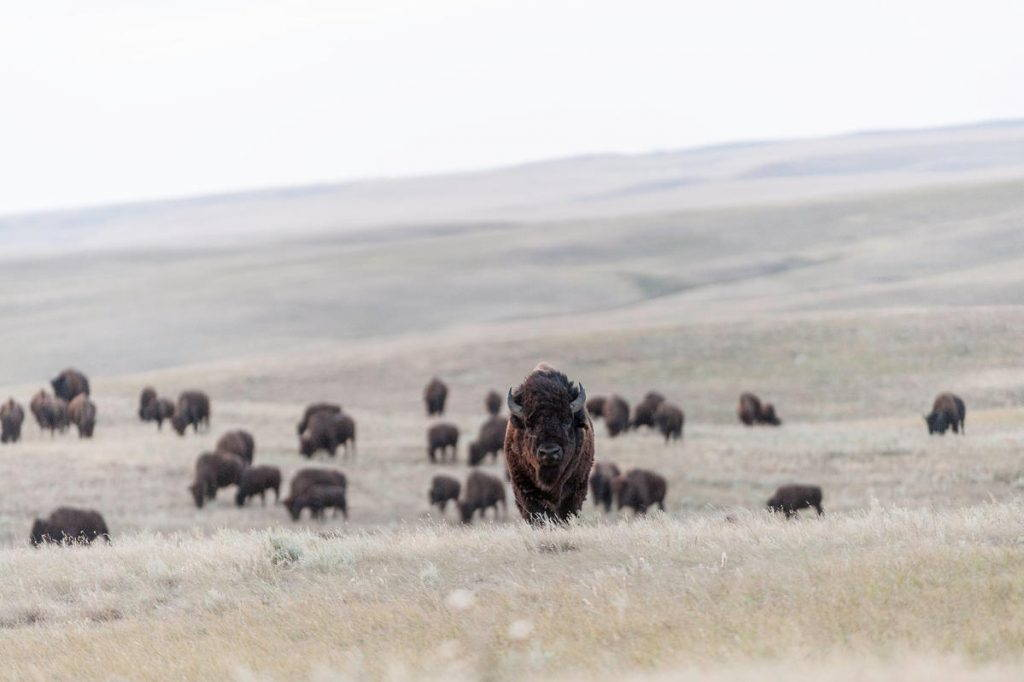 Dozens of bison grazing on pasture, one in focus facing forward