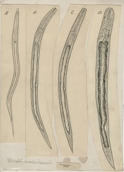 Pen sketch of hookworm