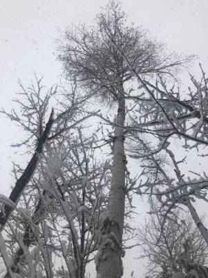 Snowfalling in a snow-covered birch forest.