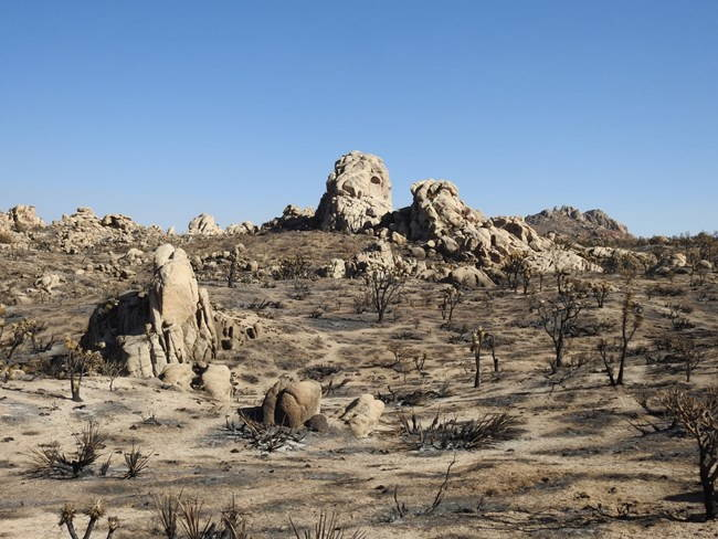 Black Joshua trees on a burned East Mojave landscape with large granite rocks