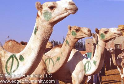Camels - Birqash Camel Market - Egypt.