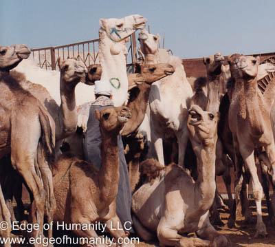 Camels - Birqash Camel Market, Egypt.