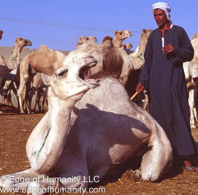 Camel and Handler - Birqash Camel Market, Egypt.
