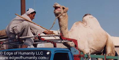 Handler tying a camel to a truck. Birqash Camel Market, Egypt.