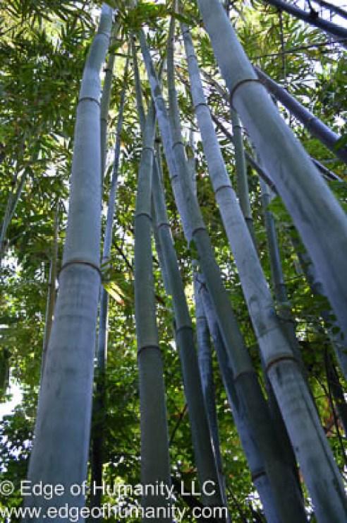 Angel mist bamboo