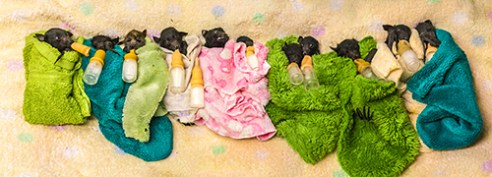 Baby Pan: 11 Orphaned Flying-fox babies are cleaned, fed and blanketed in Trish Wimberley's Australian Bat Clinic.