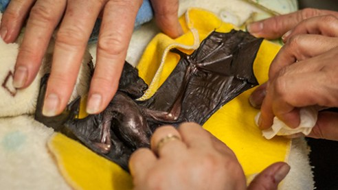 Flying Primate Theory: I am amazed at the countless social and physical likenesses between Flying-foxes and humans. In fact, Flying-foxes are more biologically similar to humans than their own microbat brethren.