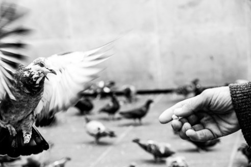 Giuseppe takes care of every single pigeon.