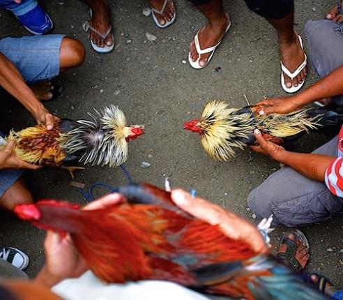 Chooking Fightng_Timor_Leste_1