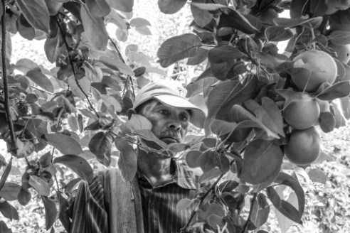 Days are long and the work tiresome for this Mexican farm-worker harvesting apples on this Upstate NY farm.