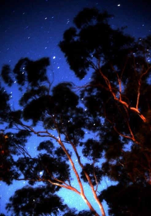 Eucalyptus & Stars Star trails behind urban Eucalyptus