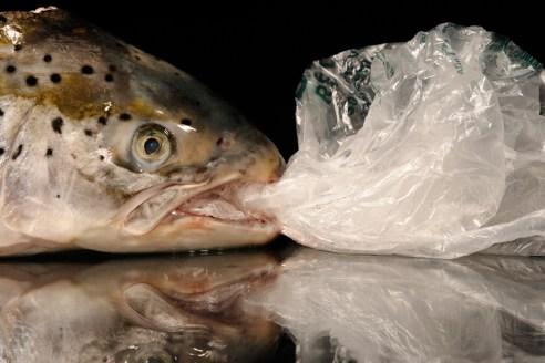 Photographie couleur prise à l'horizontale en studio. Il s'agit d'une tête de saumon ayant dans sa gueule, un sac poubelle plastique. Le tout posé sur un miroir avec un fond noir. Cette image dénonce les problèmes et les conséquences des sacs poubelles plastiques sur l'environnement, en particulier sur les espèces maritimes.