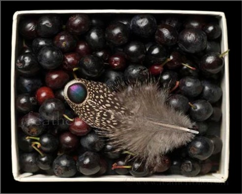 Grey peacock pheasant feather & huckleberries