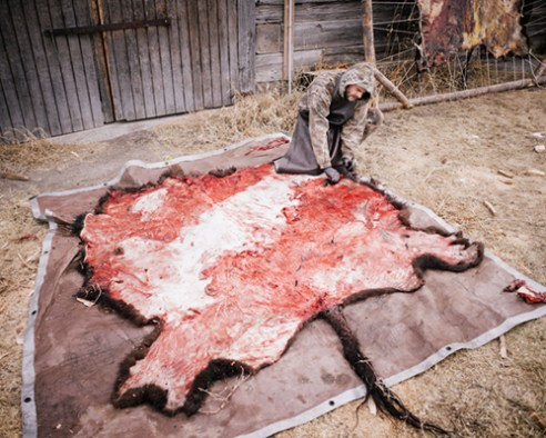 Jerry fleshing a buffalo hide for tanning.