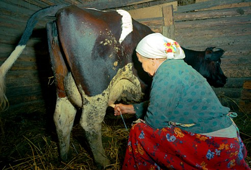 Anastasia milking cow