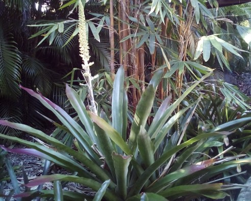 3'HIGH 1'WIDE Bromeliad Androlepis