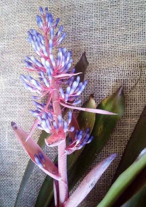 Bromeliad Portea