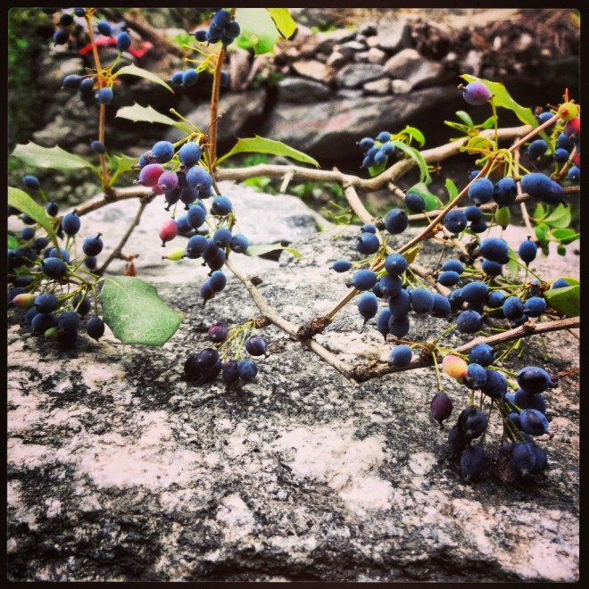 Himalayan Blueberry