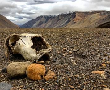 Skull of a Muskox