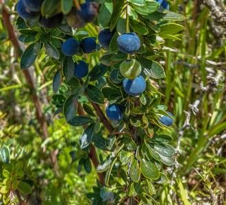 Foraging Patagonia - El Calafate Berry