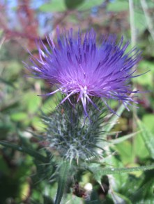 Thistle colour.