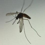 Hasta fin de año decretan Alerta Sanitaria en Tarapacá por presencia del mosquito Aedes aegypti