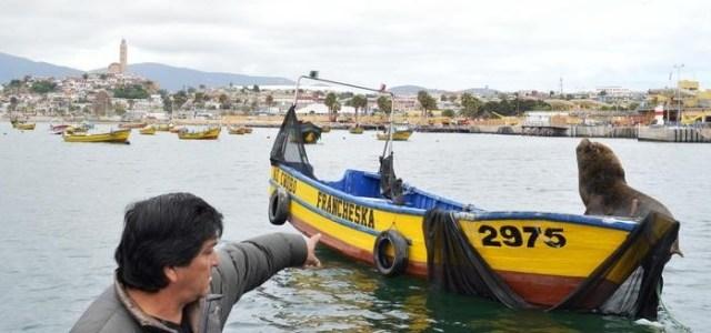 En Caleta Cavancha presentarán estudio sobre impacto de los lobos marinos en la pesca artesanal