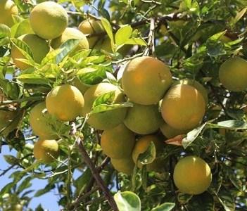Difunden resultados del Catastro Frutícola Tarapacá 2019, que da cuenta del estado de los cultivos en Tarapacá