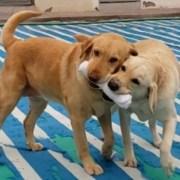 Milk y Camelia, lo canes estrellas de la Brigada SAGTarapacá pasan a retiro