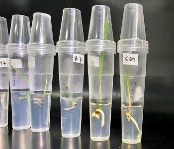 Ingresan al país más de mil cien palmeras datileras in vitro, para que sean plantadas en Tarapacá