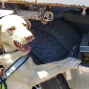 El can Jack, nuevo integrante de la Brican SAG Tarapacá detectó 55 kilosdemangos ocultos en camión