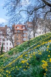 A host of golden daffodils on your Spring Break in Edinburgh