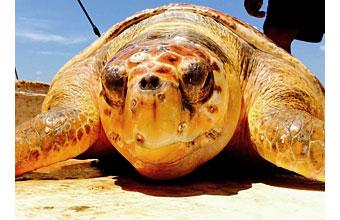 A tortoise from Edisto's unique coastal ecosystem