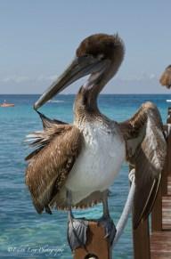 pelican, beach, sea, nature, bird, Cozumel