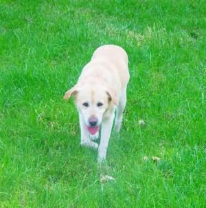 caïus chien labrador golden retriever