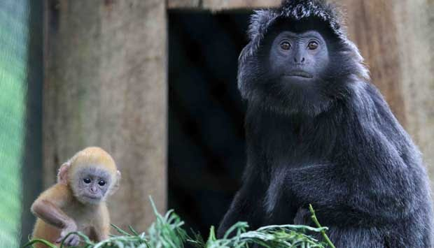 Menunggu Monyet Hitam Turun Gunung