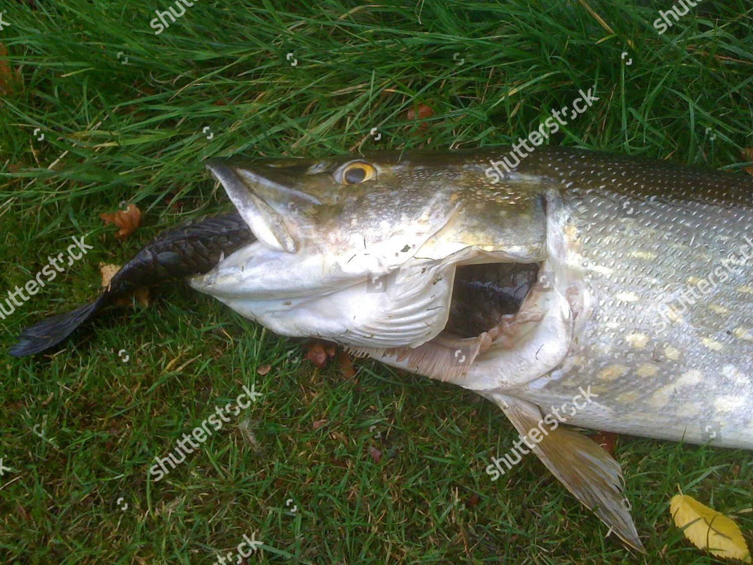 dead pike carp mouth Editorial Stock Photo - Stock Image | Shutterstock