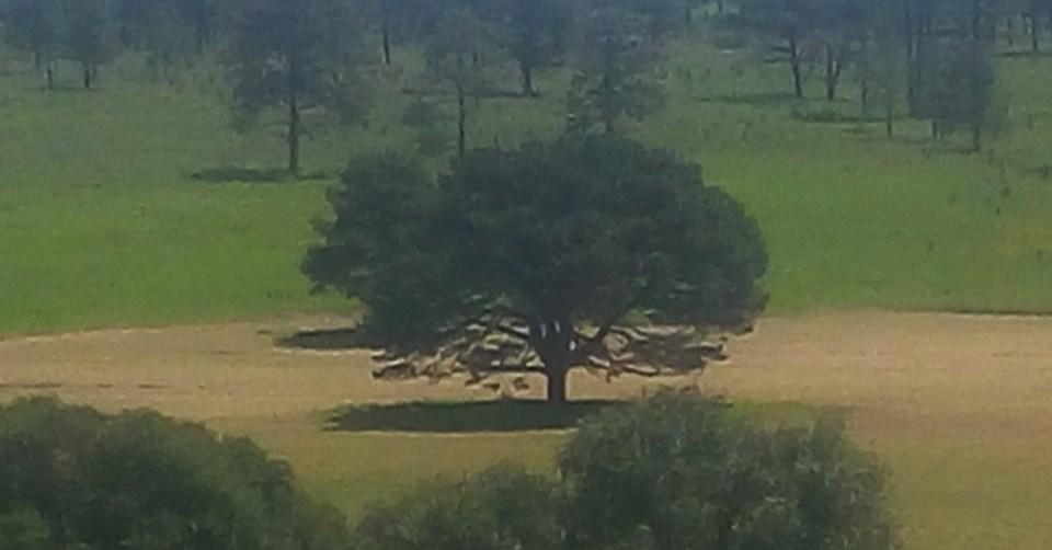 El árbol que nunca muere