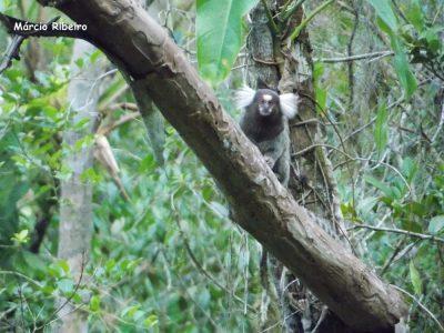 Cuidado! Macaco originário do nordeste pode causar doenças