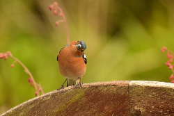 Confused Chaffinch
