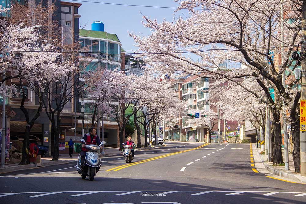 Musim Semi , Sakura Pertama Di Negeri Gingseng