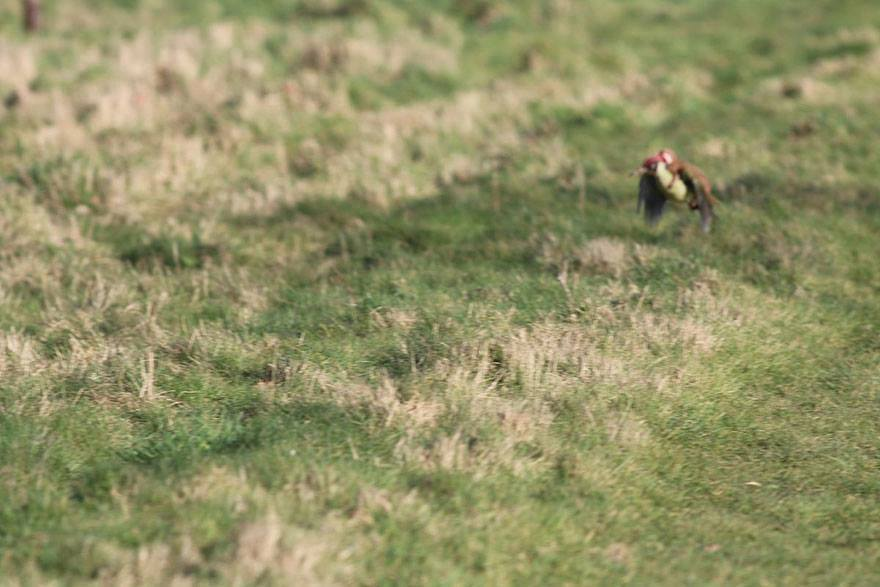 incredible-photos-of-a-woodpecker-flying-with-a-weasel-on-its-back_2017