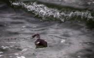 zwarte zeekoet 2